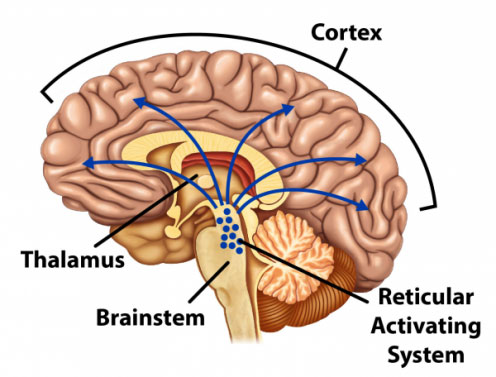 Brain showing the cortex, Thalamus, Brainstem, and Reticular Activating System