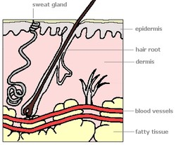 The skin has two layers. The outer layer, called the epidermis, serves to protect the body from infections and germs.