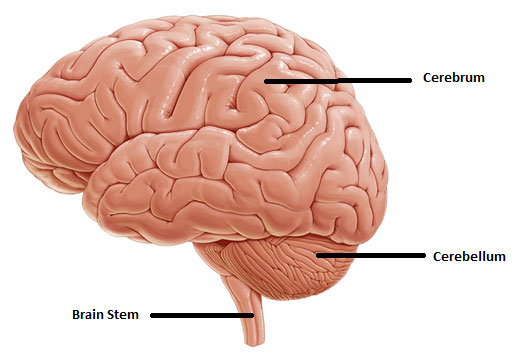 Illustration of a brain showing the cerebrum at the top, cerebellum at the bottom, and the brain stem at the base